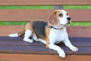 Bench Beagle by All About The Beagle Petland Naperville