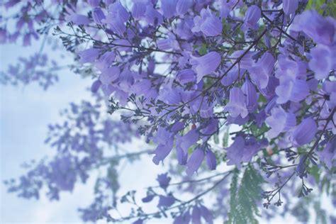california tree with purple flowers jacaranda tree purple flowers spring san diego california
