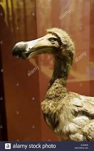 Extinct Dodo Bird Stock Photos U0026 Extinct Dodo Bird Stock