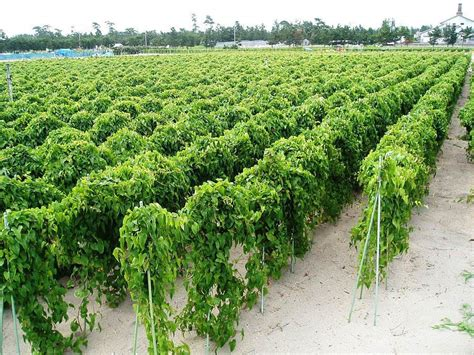 Photo Of The Entire Plant Of Chinese Wild Yam (dioscorea