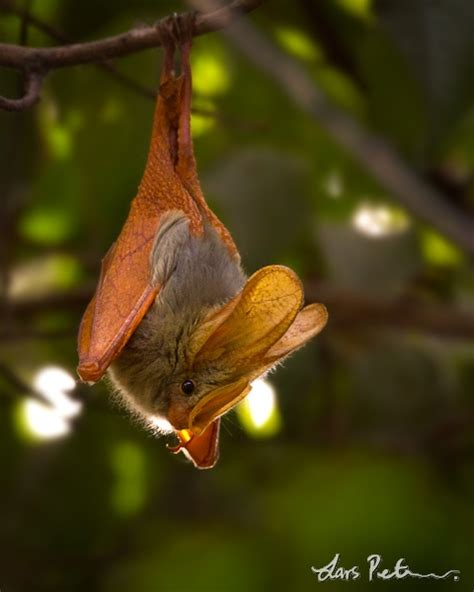 Yellow-winged Bat - - Bird images from foreign trips | My ...