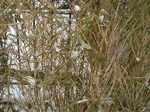 Bambus Im Winter : palmen und co bambus wird schon wieder braun ~ Frokenaadalensverden.com Haus und Dekorationen