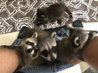 What taking care of 4 trash pandas is really like ...