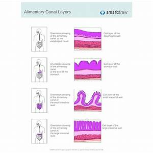 Alimentary Canal Layers
