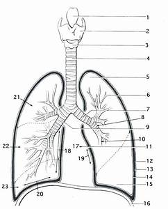 Smartness Inspiration Respiratory System Coloring Page Lung Anatomy 336033  U2013 Coloring