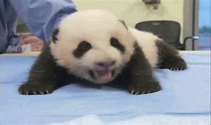 Panda Animals Animales Animal Tough Oso Trying