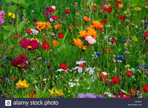 gelbe margeriten kaufen bl 252 hende wiesen im sommer kornblumen centaurea cyanus schafsgarben achillea malven malva