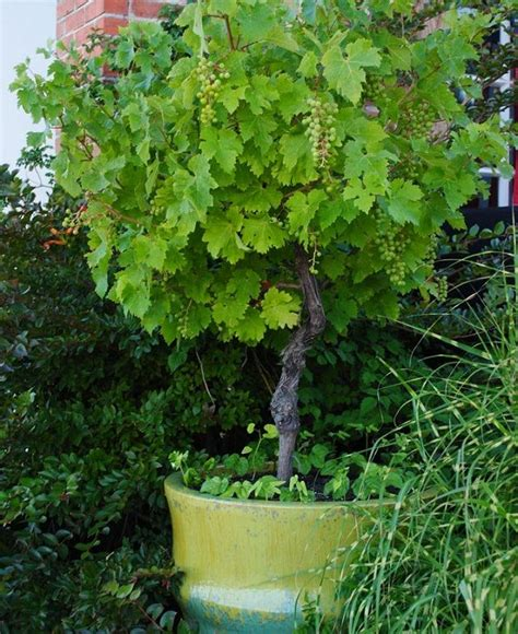 growing grapes  containers   grow grapes  pots