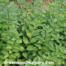 california privet shrubs fast growing shrubs