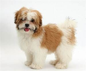 Maltese Shih Tzu Breed Information: Facts, Pictures ...