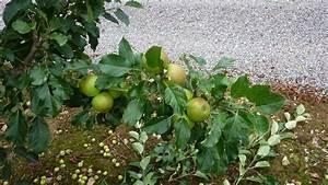 Adams Apple Trees  Summer Pruning Of Apple Trees