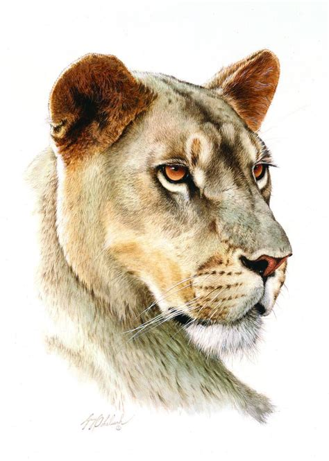 big cat heads lioness head portraits kk wildlife art