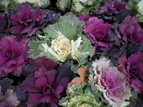 decorative cabbage and kale ornamental kale and cabbage flickr photo sharing