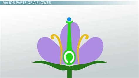 ovary   flower function definition video lesson