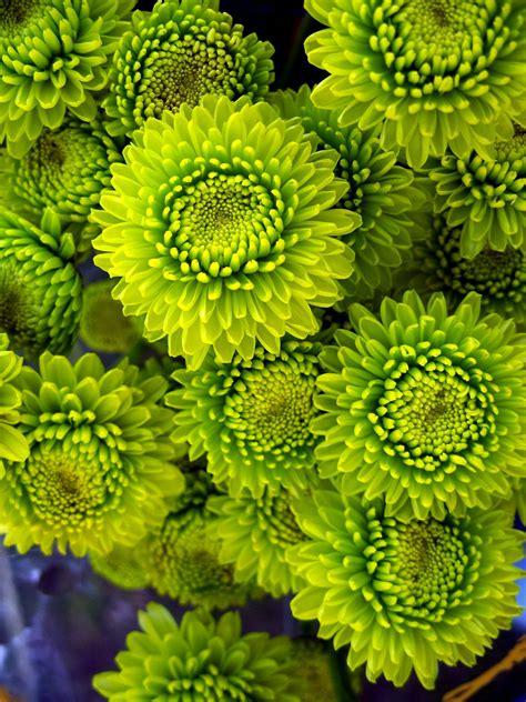 lime green mums mums green flowers wedding flowers