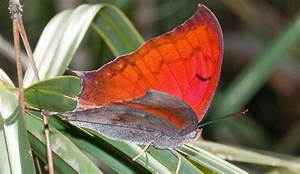 Florida Leafwing Butterfly