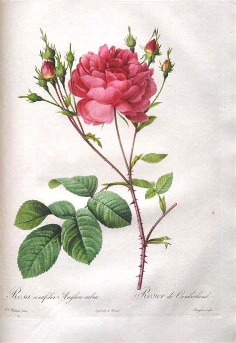 botany flowers 1000 ideas about rose illustration on pinterest roger duvoisin illustrations and botanical