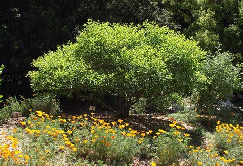 Du cephalanthus pour les insectes butineurs… - Soliverdi ...