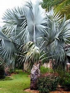 Palme Winterhart Kübel : pn4312 pflanzen k belpflanzen palmen winterharte ~ Michelbontemps.com Haus und Dekorationen
