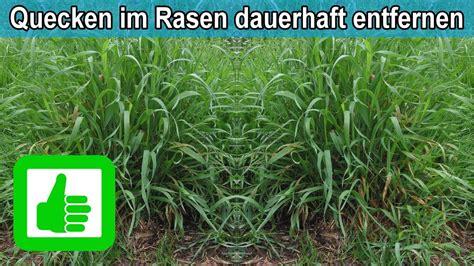 Im Rasen Loswerden by Quecken Im Rasen Bek 228 Mpfen Nachhaltig Entfernen Tipps