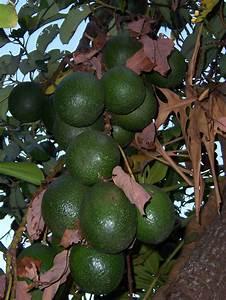 Arbre A Fruit : avocat fruit ~ Melissatoandfro.com Idées de Décoration