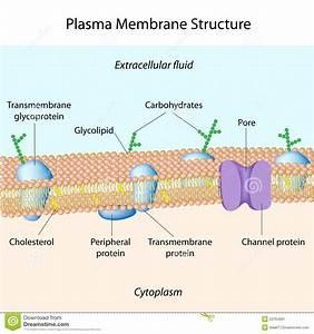 Plasma Membrane Stock Image