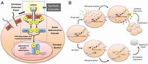 Genetic Control Of Mammalian T
