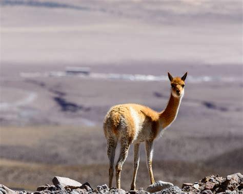 guanaco facts diet habitat pictures  animaliabio
