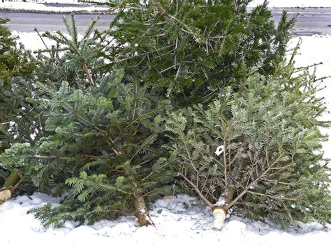 4 ideas to keep christmas trees from going to waste