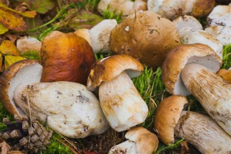 cepes cuisine cèpes préparation cuisson conservation et idées recettes