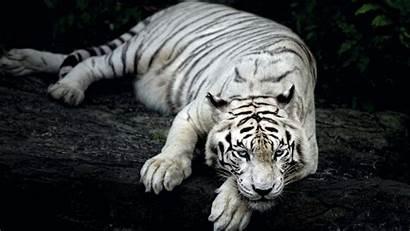 Tiger Animal Wallpapers 1366 1600