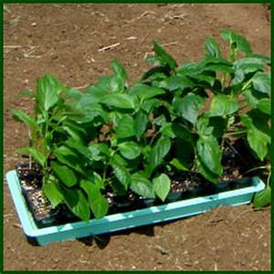 Seed Starting 101: Growing Peppers from Seed - Dave's Garden