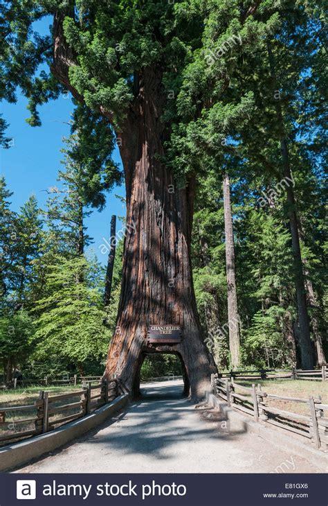 california leggett chandelier tree drive through tree