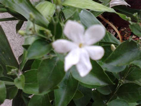 fragrant flowers garden care simplified fragrant jai flowering plant