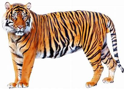 Animals Tiger Transparent Pluspng