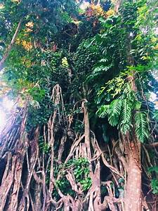 Biggest Tree in the world, The Balete Tree in Baler ...