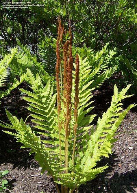 cinnamon fern plantfiles pictures cinnamon fern osmunda cinnamomea by equilibrium