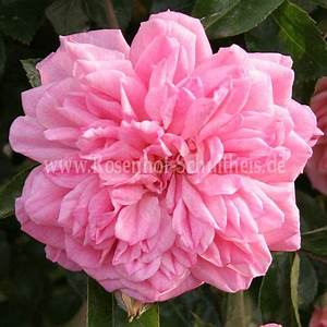 Rosen Düngen Im Frühjahr : paul no l rosen online kaufen im rosenhof schultheis rosen online kaufen im rosenhof schultheis ~ Orissabook.com Haus und Dekorationen