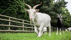 Goats Know What Their Friends Sound Like