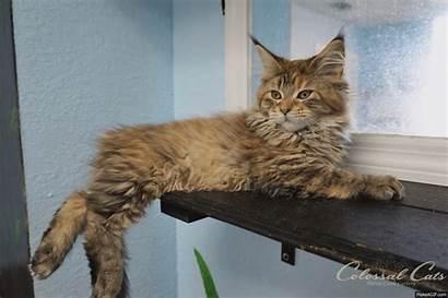Coon Maine Kitten