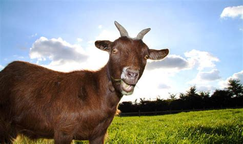 top ten facts  goats top  facts life style