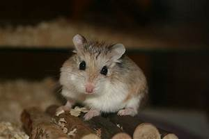 File:Cute roborovski hamster.jpg - Wikipedia