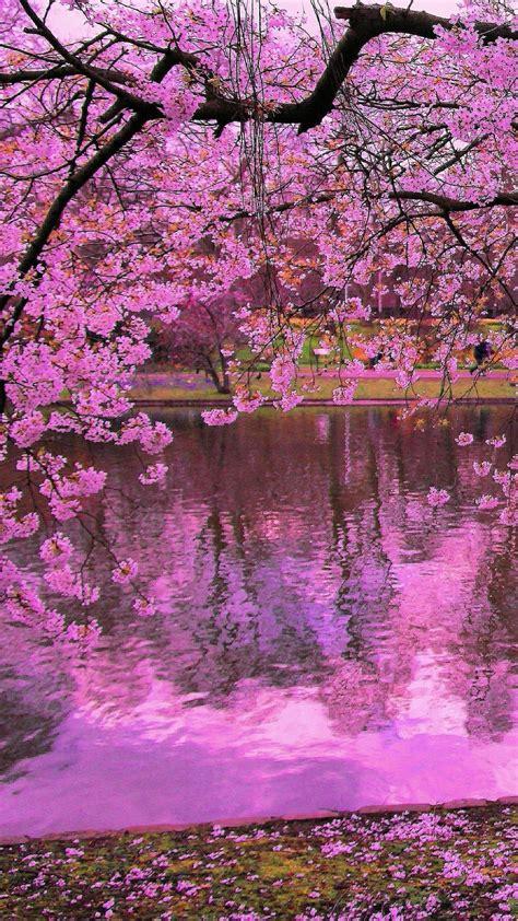 sakura wallpapers  background pictures