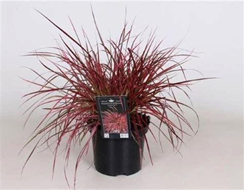 Rotes Ziergras Winterhart by Pennisetum Setaceum Fireworks Lenputzergras Pink