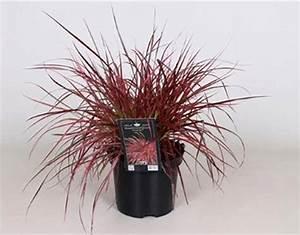 Rotes Gras Winterhart : pennisetum setaceum fireworks lampenputzergras pink ~ Michelbontemps.com Haus und Dekorationen