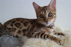 PEDIGREE BROWN SPOTTED BENGAL KITTENS | London, South East ...