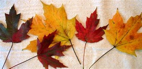 how to preserve fall leaves and branches with glycerin