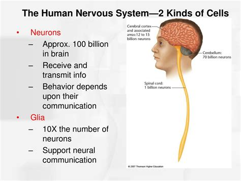 Chapter 2 Nerve Cells And Nerve Impulses Powerpoint