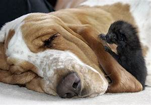 Bassethound allatta cucciolata di gattini L'Arresto del Carlino