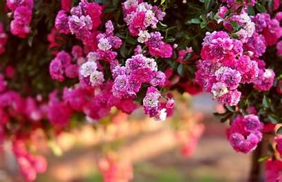 Bush Rose Goodwp Flowers Desktop Nature Wallpapers